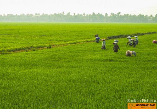 kumarakom paddy field