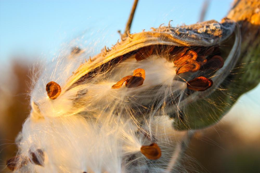 milkweed seeds in a pod