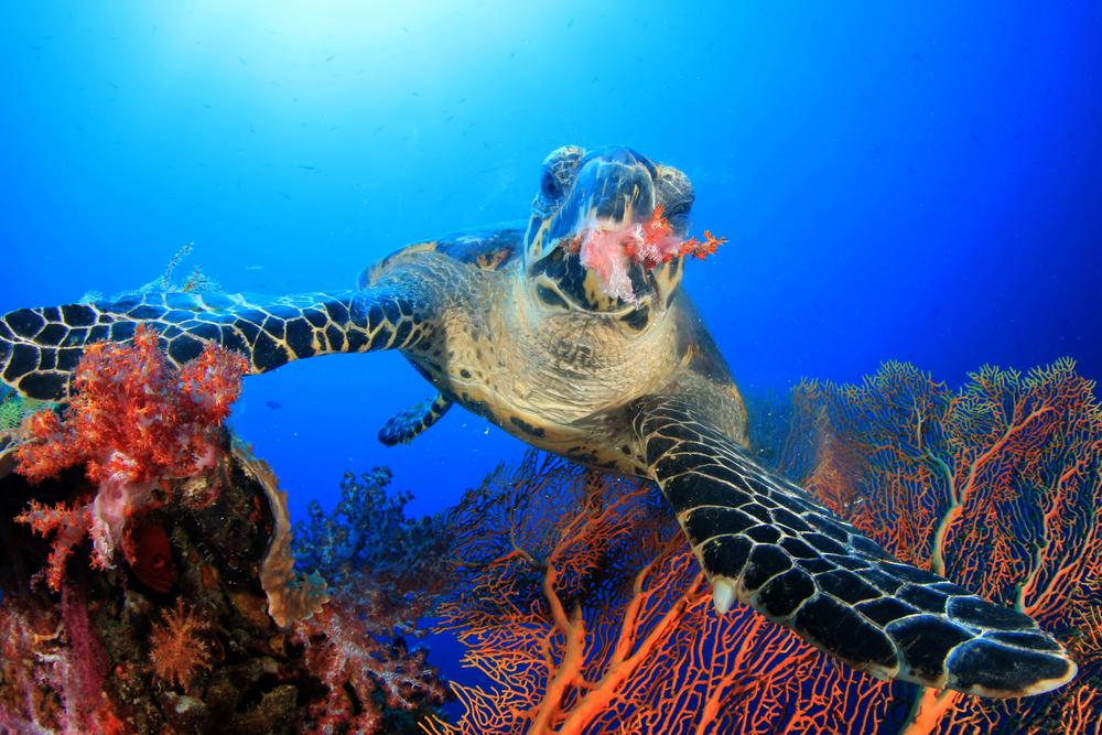 What do sea turtles eat? This hawksbill eats coral