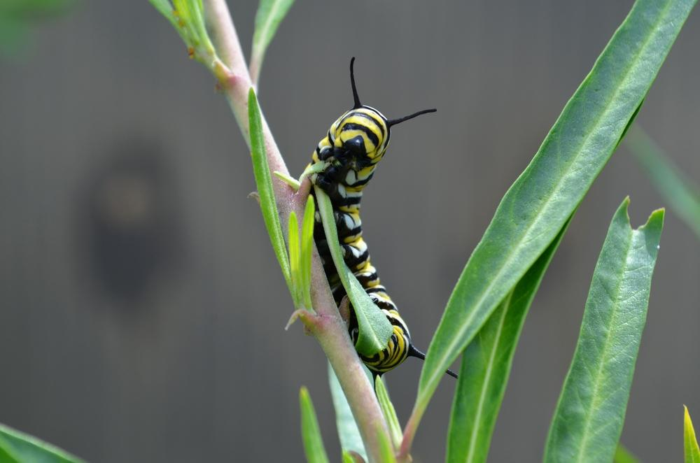 caterpillar on milkweed plant