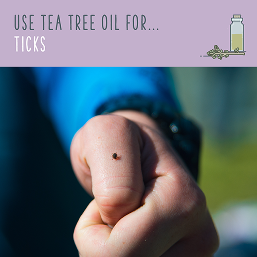 tea tree oil for ticks