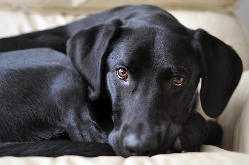 coconut oil for dogs lab
