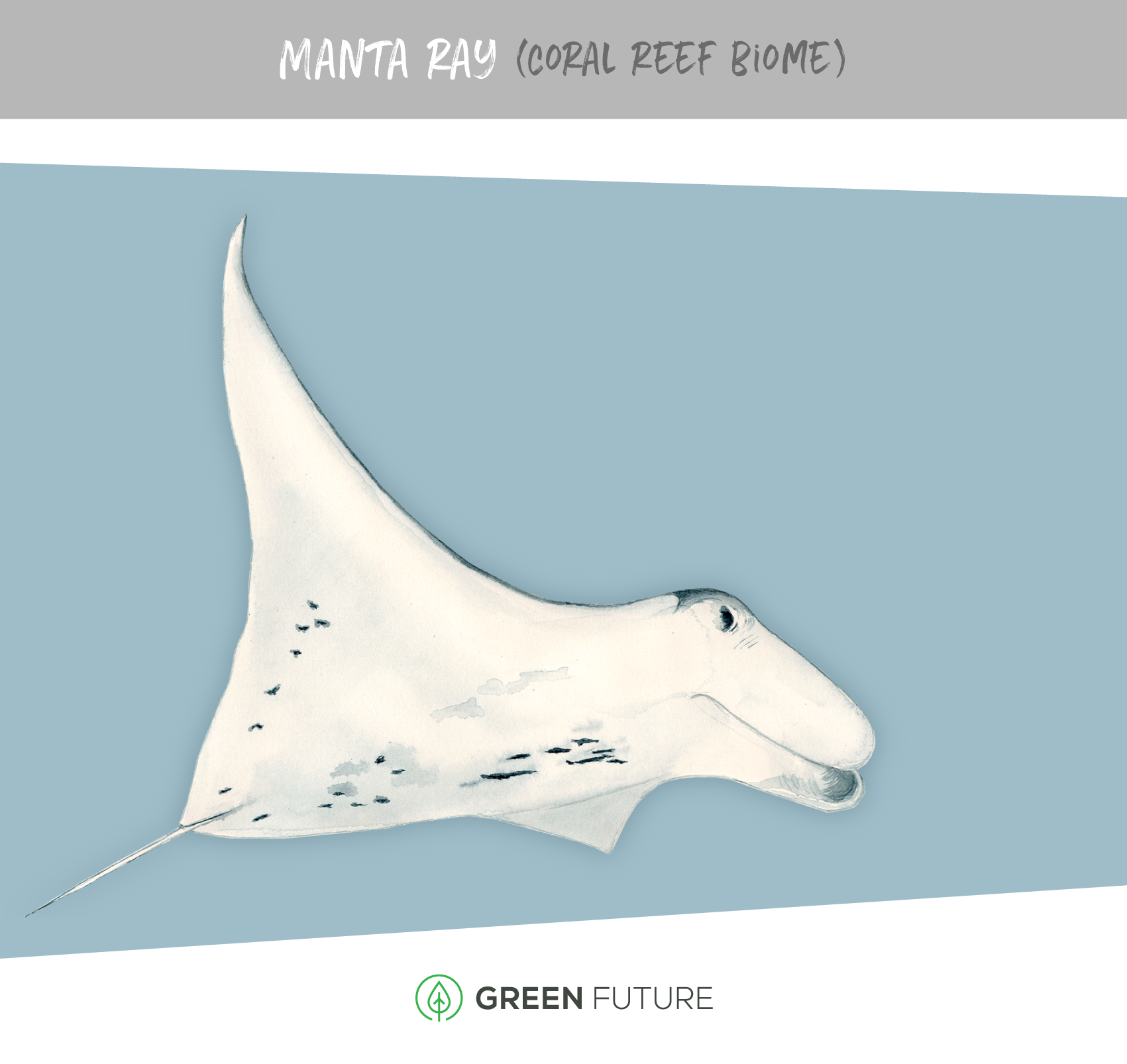 manta ray illustration