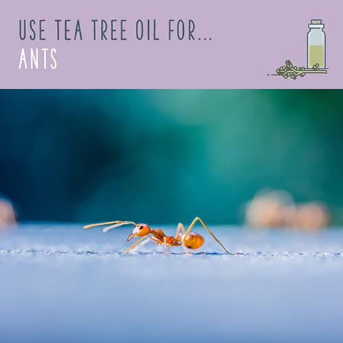 tea tree oil for ants