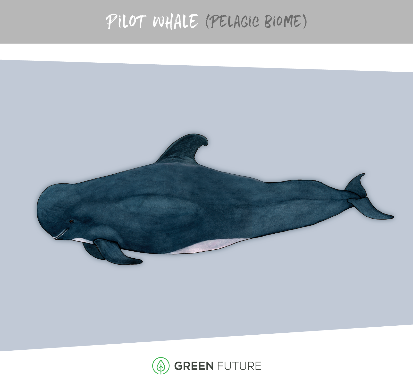 pilot whale illustration watercolor