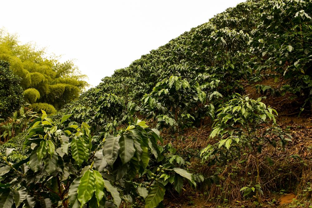 fair trade coffee fields