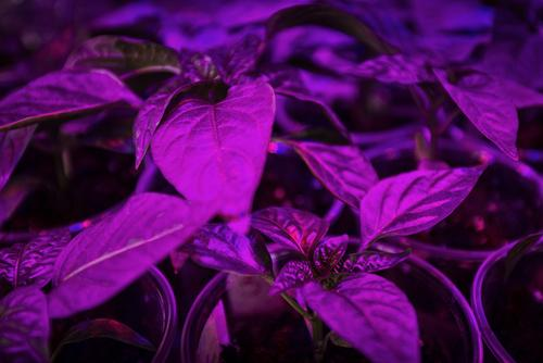 Basil grown under LED grow lights