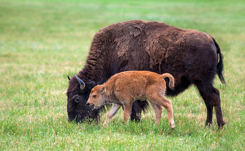 Buffalo and calf grazing