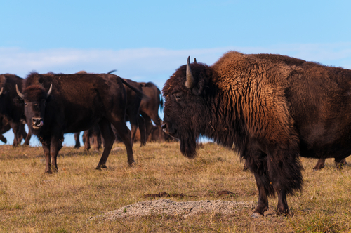 Herd of buffalo. Are buffalo extinct?
