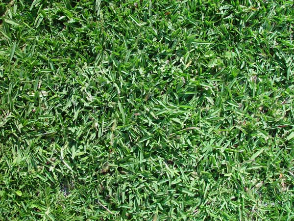 Drought Tolerant Grass Options For Water Wise Homeowners