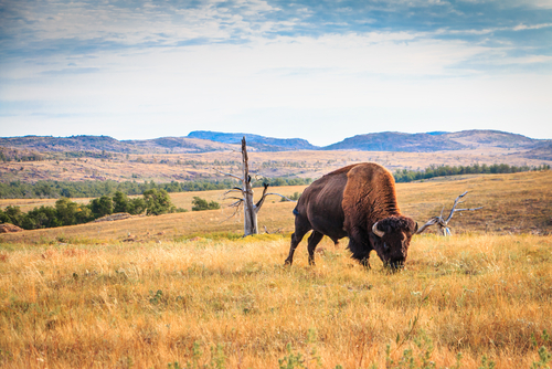 Buffalo grazing. Buffalo are not extinct