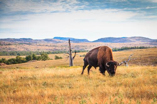 Buffalo grazing. Buffalo are not extinct