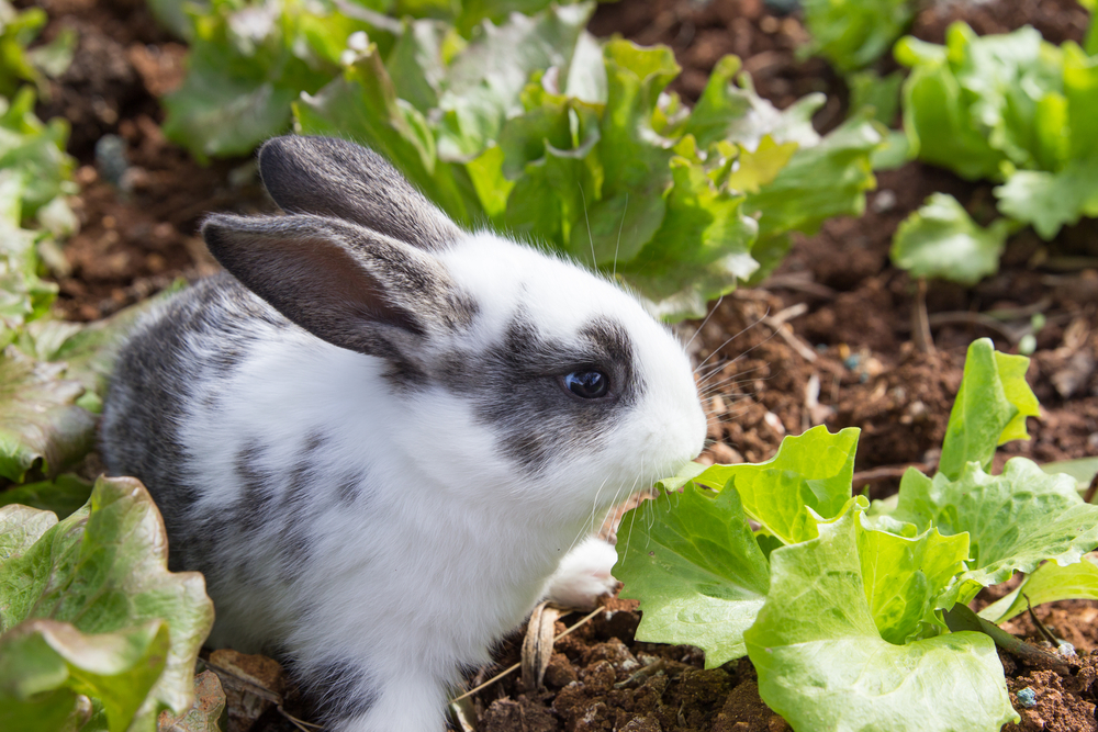 Bunny Eating Lettuce