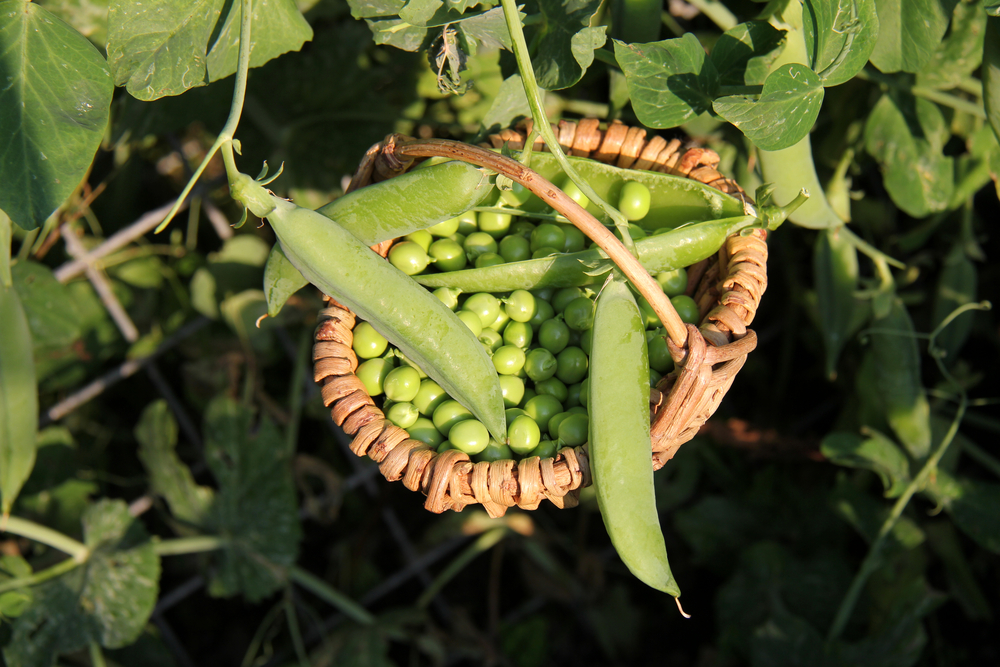 Basket Of Snap Peas