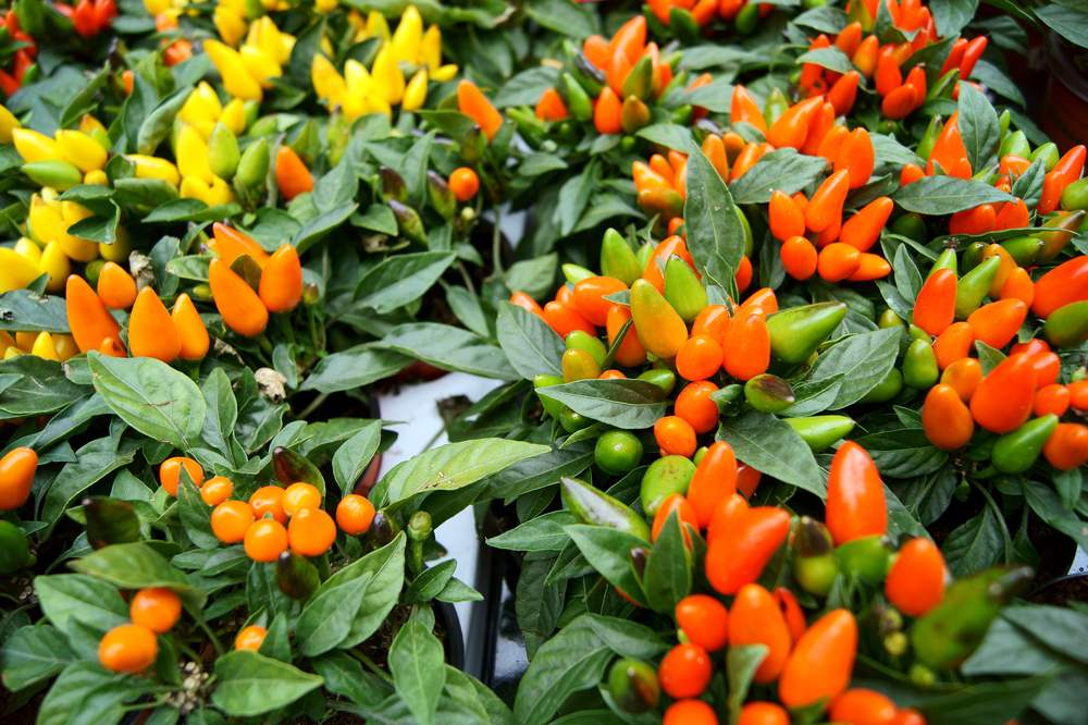 Colorful Pepper Plants