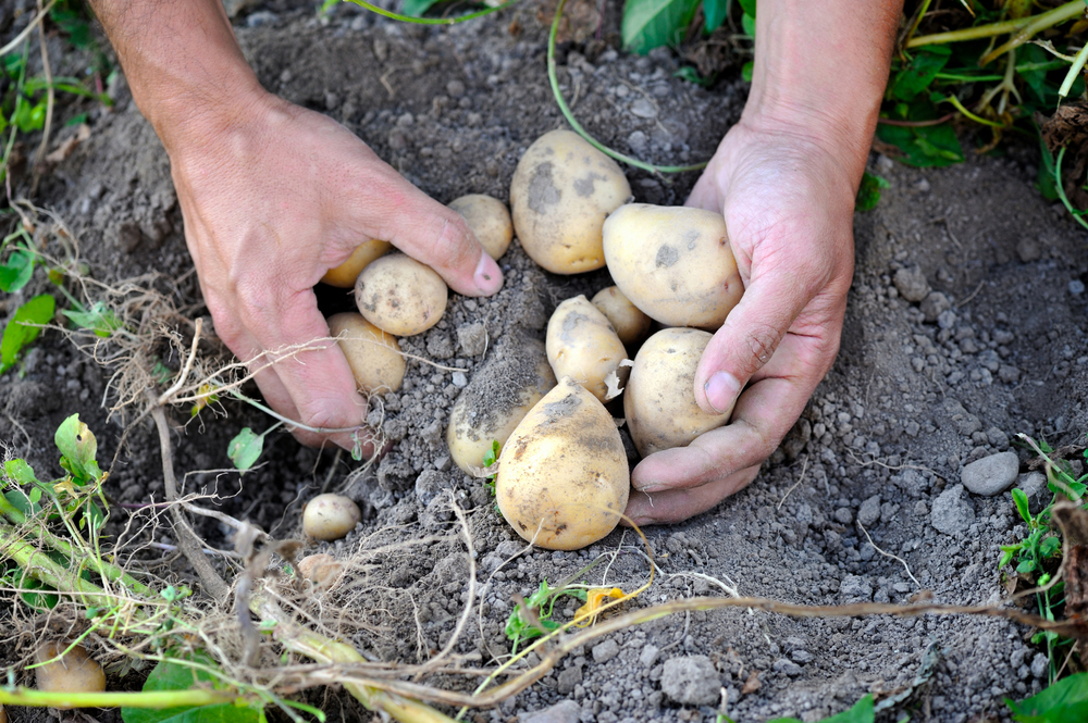 Person Digging Up Potatoes