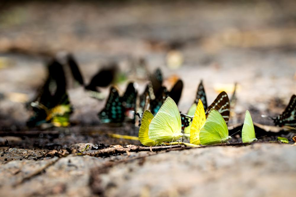 What do butterflies eat? These are eating mud.