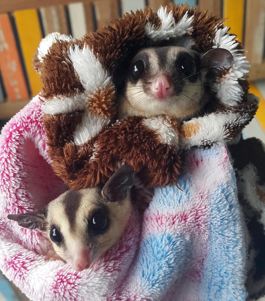 two pet sugar gliders