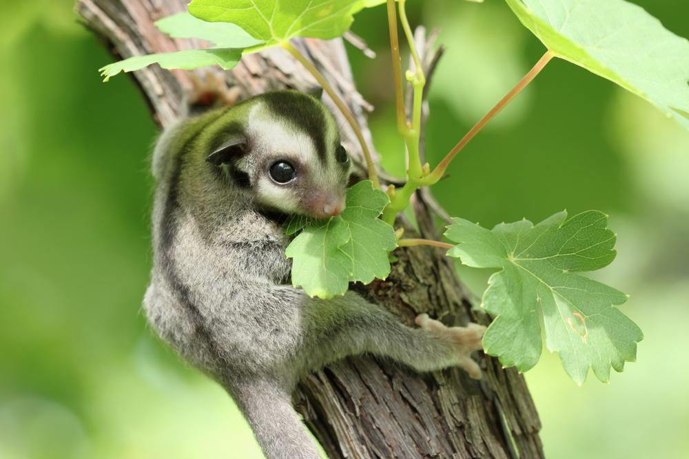 Sugar glider on a tree