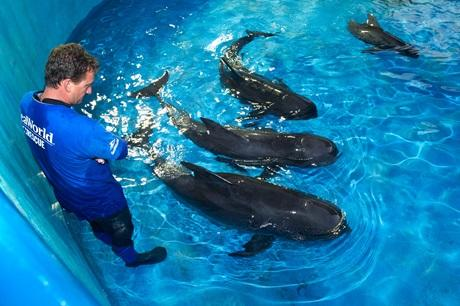 Pilot whales rescued at SeaWorld