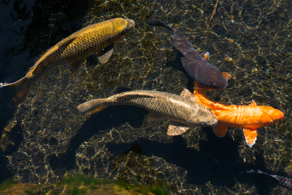 Koi fish swimming in pond