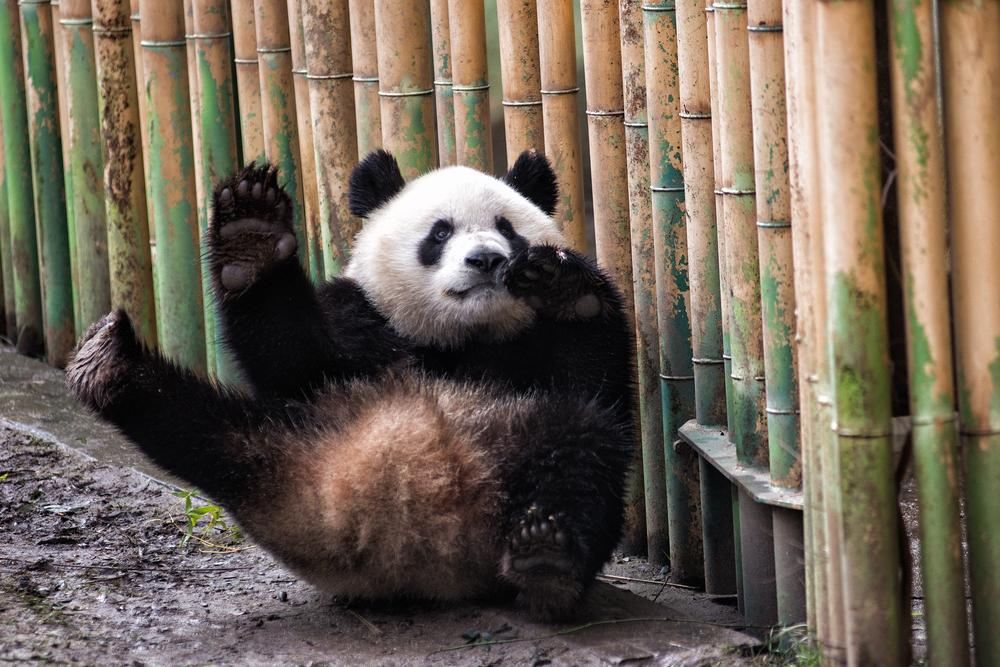 Are pandas aggressive? This one really isn't.
