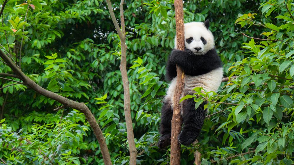picture of a panda bear to illustrate panda facts