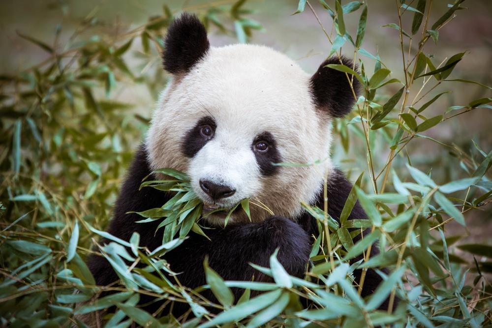 cute panda eating leaves