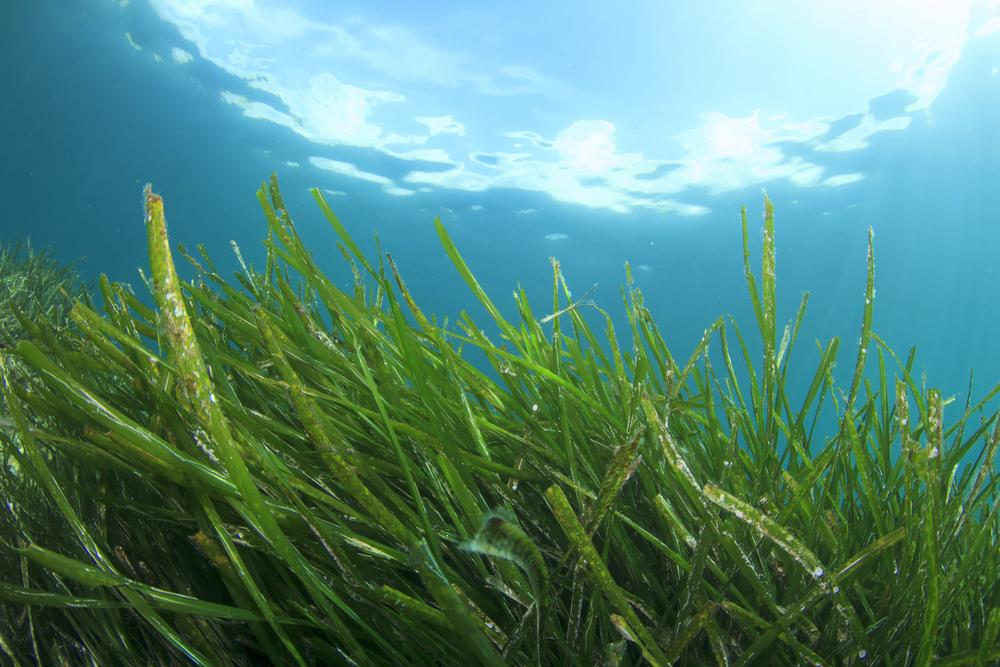 seagrass the miracle worker of the sea