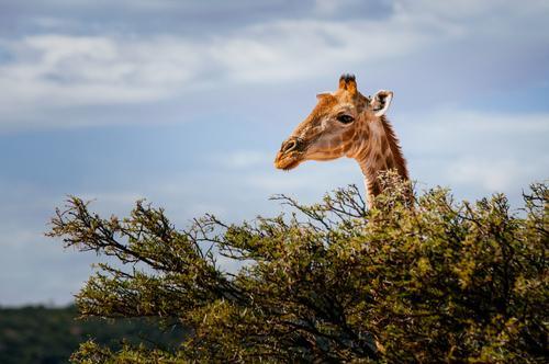 Giraffe behind tree