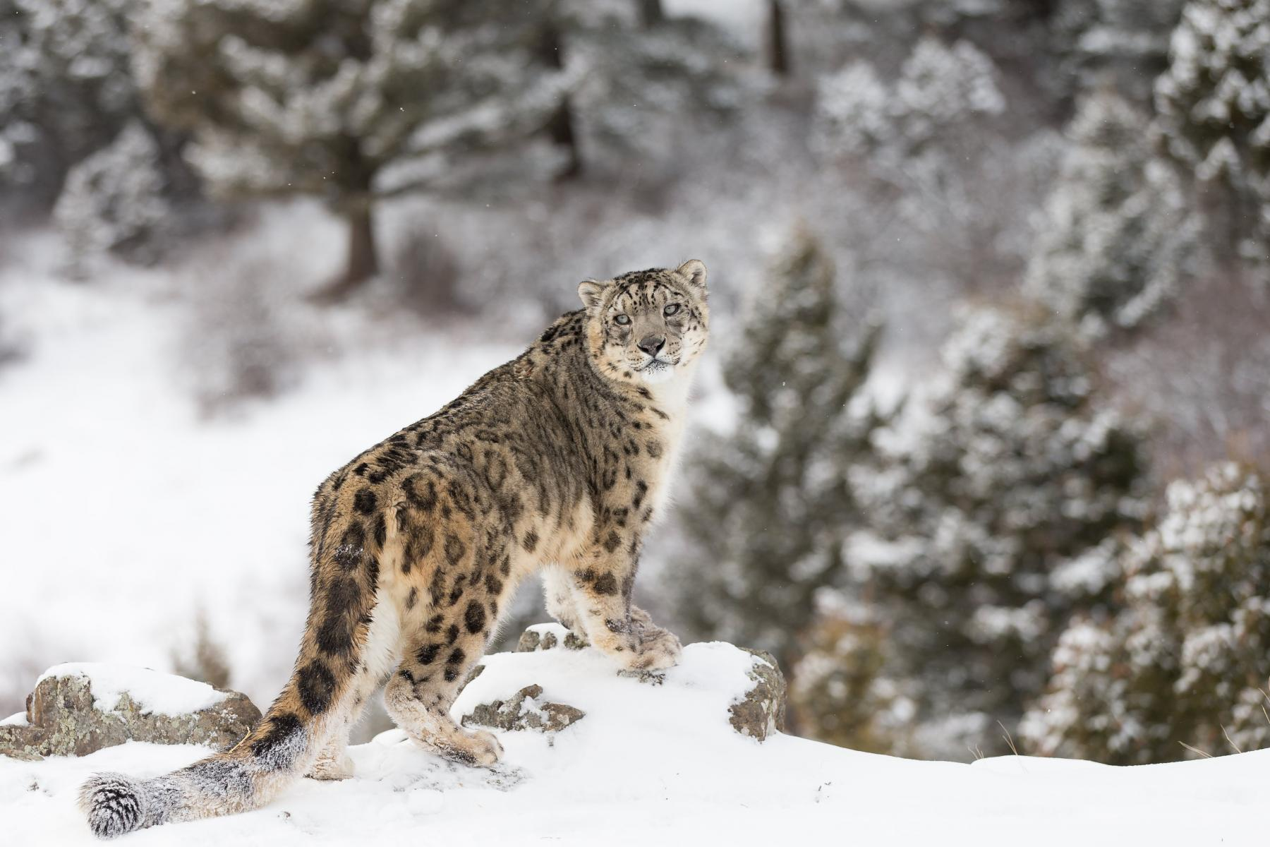 snow leopard in snow