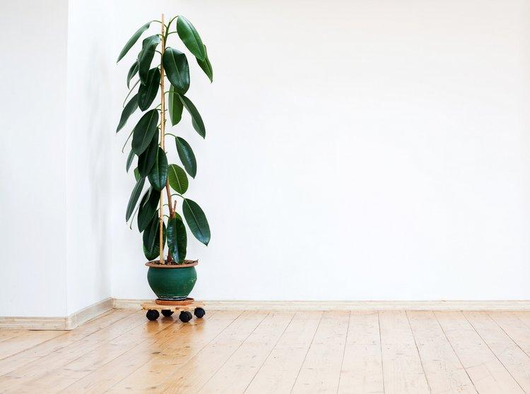 Rubber plants are stylish clean air plants