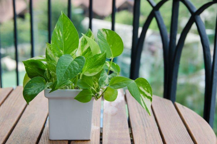 A golden pothos can clean air efficiently