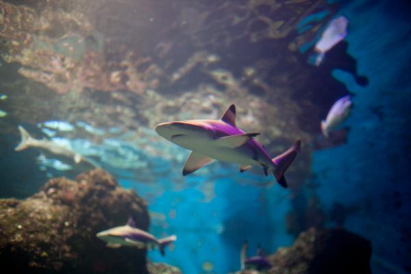 A shark at the Maui Ocean Center.