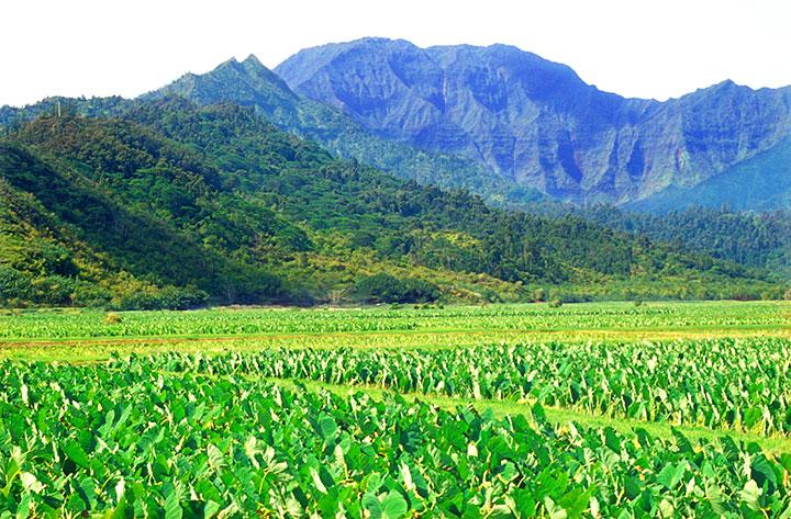 CTY-Hanalei-taro-fields