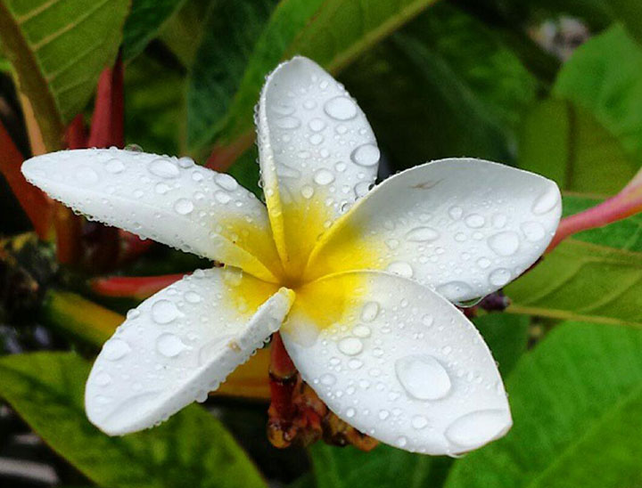 Delicate white plumeria in full bloom.  Photo courtesy of CAL.