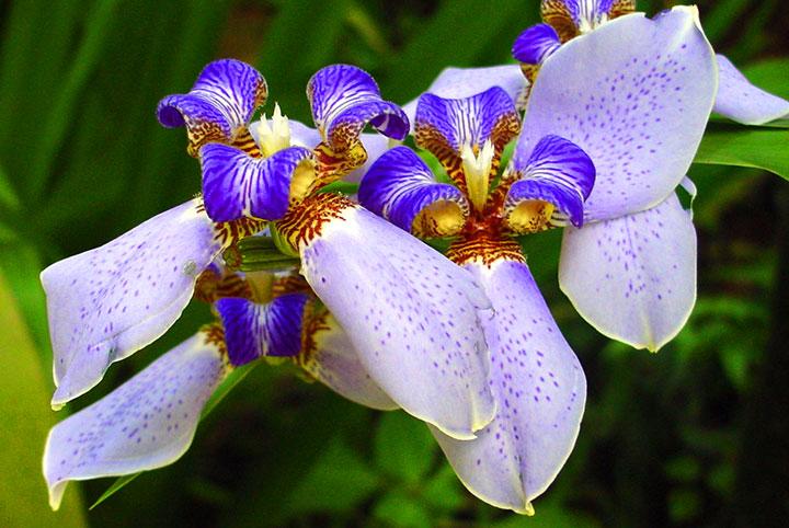 Neomerica-northiana-blue