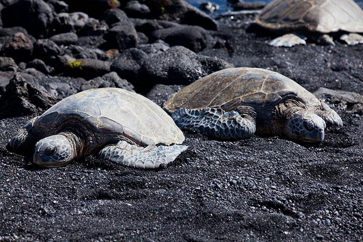 Honu at black sand beach Punaluu.  Photo courtesy of Hawaii Tourism Authority (HTA) / Tor Johnson.