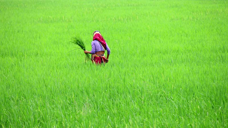 Bangladesh Rice Field