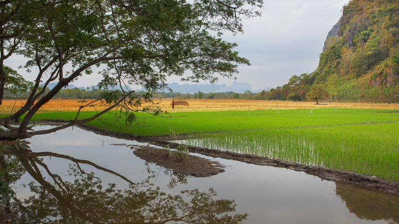 Rice field in myanmar