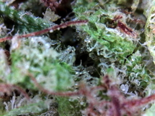 Strain Report: Bubble Gum | Hopegrown