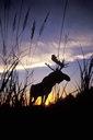 Title: Moose at Sunrise Location: Nova Scotia Photo Of: stock Type: Sea Life Wildlife