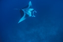 Title: Manta Ray Location: Maldives Photo Of: stock Type: Sea Life Wildlife