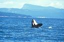 Title: Orca Breaching Location: Washington Photo Of: stock Type: Sea Life Wildlife