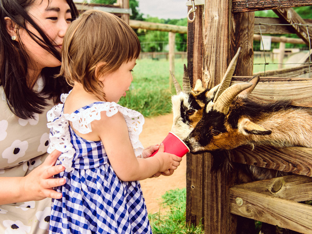 Two goats eat from our baby's cup at Mini Meadow's Farm.