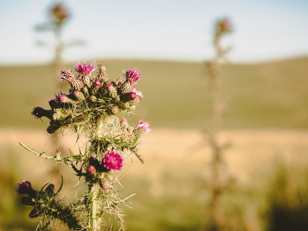 If your family travels to the Lake District of England, watch out for nasty thistles.