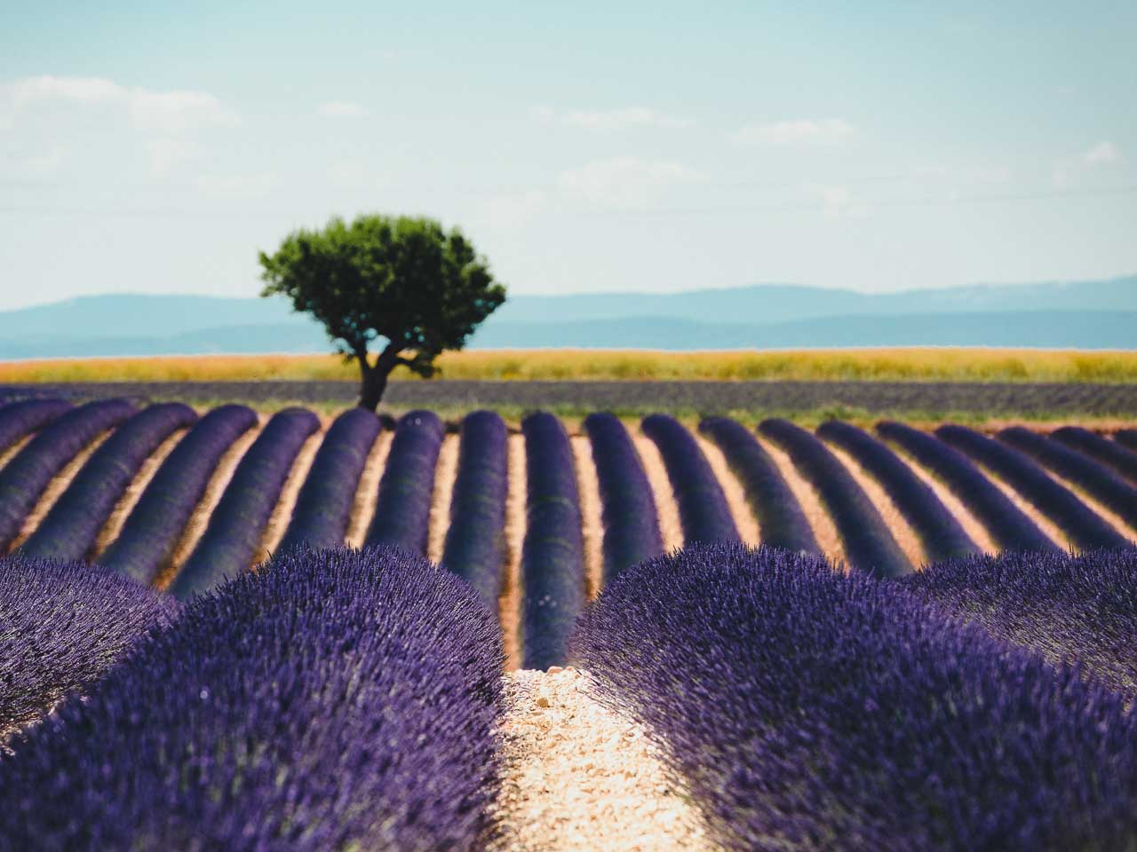 The beautiful lavender fields of Valensole in the Provence region of the south of France.