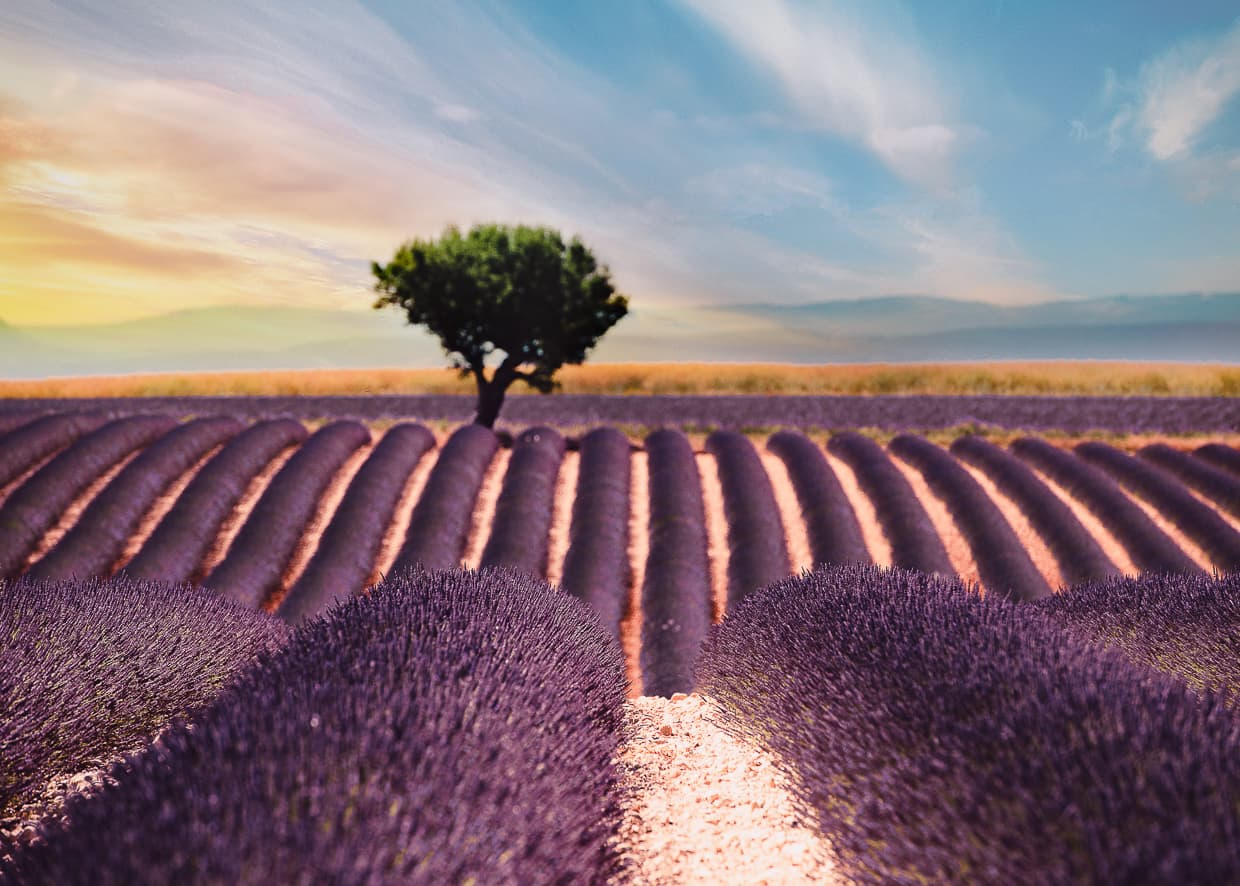 Rows of lavender in Provence with a tree and mountains in the background.