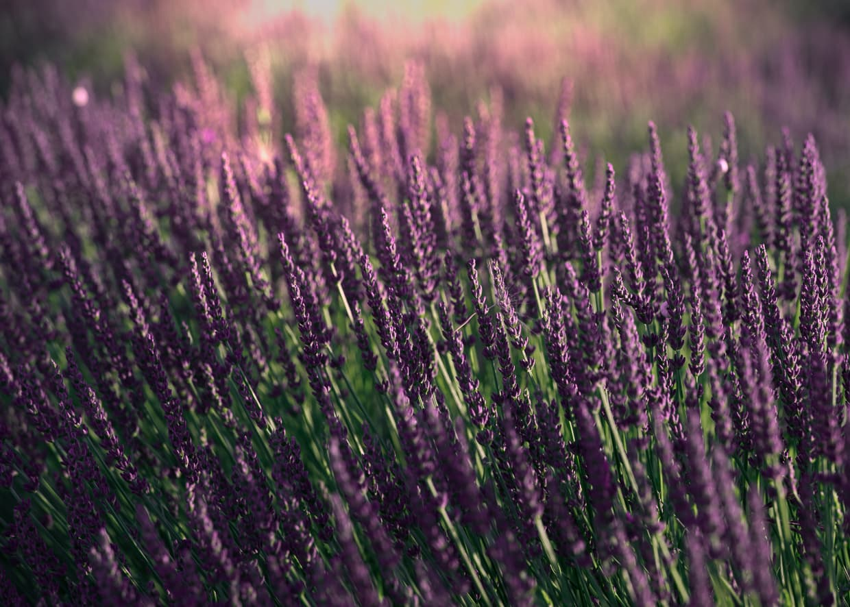 A closeup of a Provence Lavender field in France.
