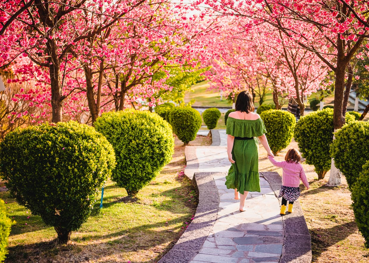 Walking down a path lined with cherry blossoms.